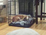 Addie retreated to her crate for a nap